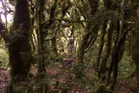The way up Mt Pirongia which changes from dense bush to moss covered trees. File photo
