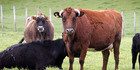 Conservation Comment: Island breed brings benefits