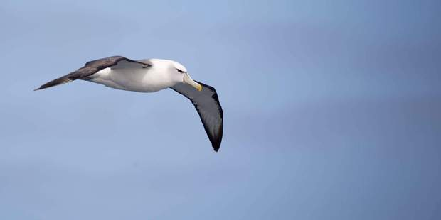 A Salvin's Albatross looks for food in the Southern Ocean. Photo / Greg Bowker