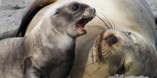 Since 1998 sea lion pup births have declined by 50 per cent. Photo / Niwa