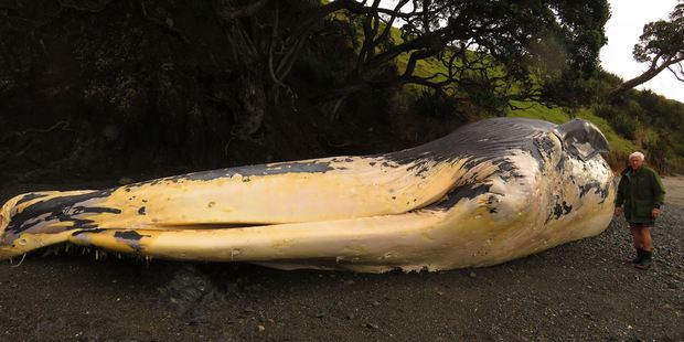"At 22 metres long, the decomposing whale is starting to get ""very smelly"" and potentially dangerous."