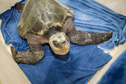 The olive ridley sea turtle, resting at the National Aquarium of New Zealand before being transported to Auckland Zoo.