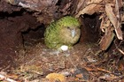 Adult kakapo Ruth doing her bit for the recovery of her lovable species. Photo / Andrew Digby, DOC