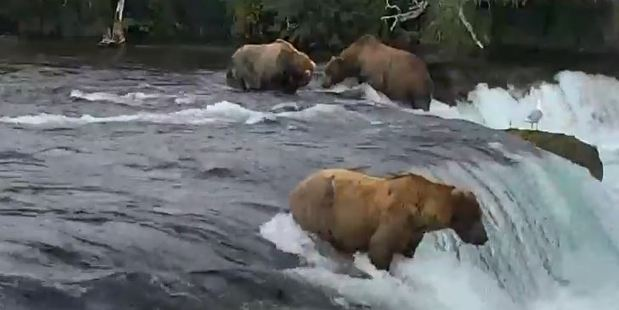 Brown bears enjoying the stereotypical activity of salmon fishing. Photo / Youtube