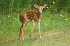 A deer in Colorado had to be euthanised after it was removed from its environment. Photo / iStock