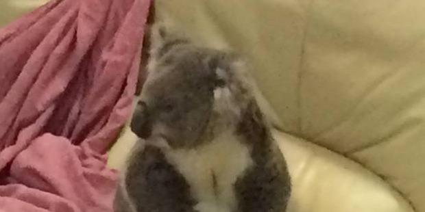 The koala was home and dry. Photo / FacebookVickiHaines