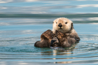 The sea otter, a voracious urchin-eater and possessor of the densest fur in the animal kingdom. Photo / iStock