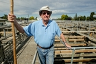 Peter McBeth, a casual worker, has been helping herd the stock at the Stortford Sale Yards, Hastings, for 12 years. Photo / Warren Buckland