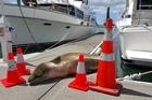 Leopard seal visits Tauranga Bridge Marina.