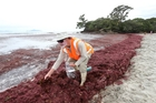 Andre Labonte collects samples of the unwelcome seaweed plaguing the beach at Waipu Cove. Photo / Michael Cunningham