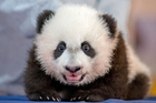 Bei Bei made his public debut yesterday in Washington. Photo / AP