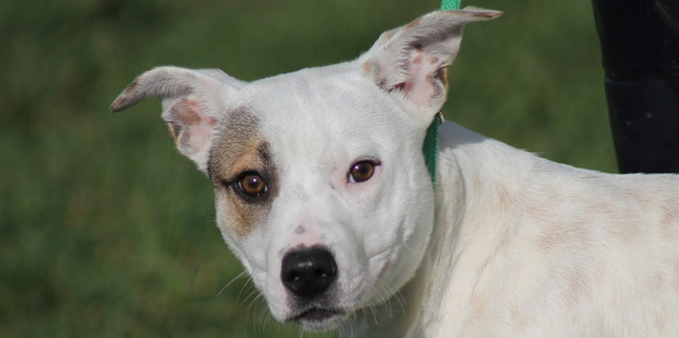 Crystal is a 10-month-old fox terrier cross staffy with a cheeky nature.