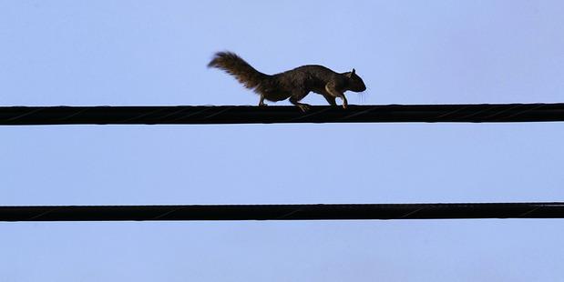 A squirrel walks a power line in South Pasadena, California. Photo / AP