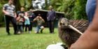New brown kiwi for Otanewainuku