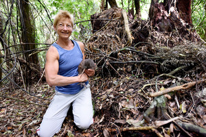 Kiwi monitoring group member Cheryl Petersen helped release two young kiwi into the forest. Photo/George Novak