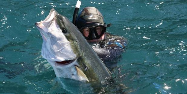 Kingfish are favourite targets for spearfishers.