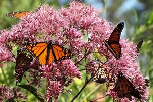 Butterflies enjoy a Filipendula (meadowsweet) in Te Puna Quarry Park's butterfly garden. Photo/file