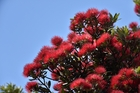 Pohutukawa were among 65 trees chopped down by Timothy John Tasker because they blocked his view.