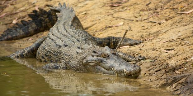 Crocodile activity increases during the warm, wet season. Photo / iStock
