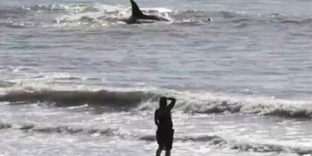 Loading Herald videographer Mark Mitchell captured footage of orcas swimming just metres from the Paekakariki shore on the Kapiti Coast.