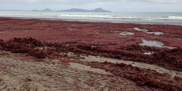 Red seaweed infesting Waipu Cove beach is posing problems for organisers of surf life saving competitions.