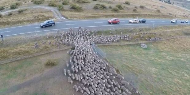Cars had to slow down and even stop for the sheep.  Photo / Ashley Harvey