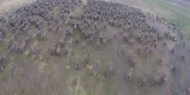 The birds-eye-view shots show the sheep running in their new paddock. Photo / Ashley Harvey