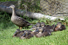 Researchers say ducklings can understand certain abstract concepts almost from the moment they hatch. Photo / Northern Advocate