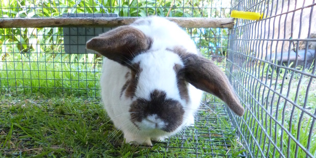 Rosie is a Flemish giant rabbit looking for a home.