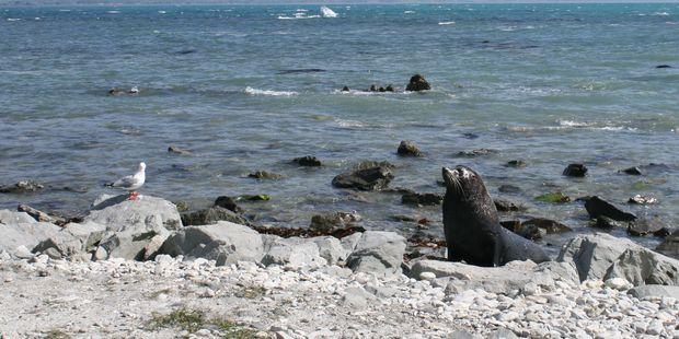 Seal on the coast near Kaikoura. Photo / Supplied
