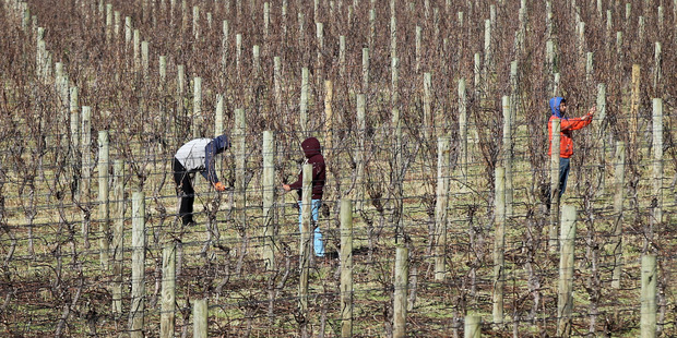 Pruners at a vineyard on Korokipo Rd, Napier, wrap up warm against yesterday's chilly weather. Photo / Duncan Brown