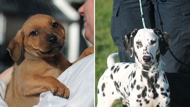 Pups up for adoption: Madison and Chaplin. Photos / SPCA