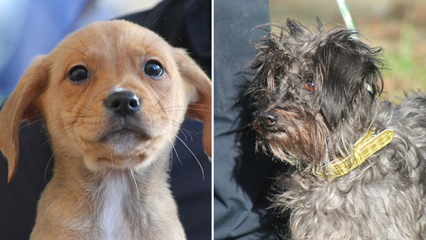 Pups up for adoption: Washington and Hairy McLeary. Photos / SPCA