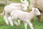 Triplet-bearing ewes tend to have a higher death rate and be more metabolically unstable.