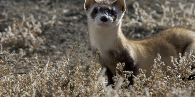A black-footed ferret in Colorado. They are endangered. Photo / US Fish and Wildlife Service