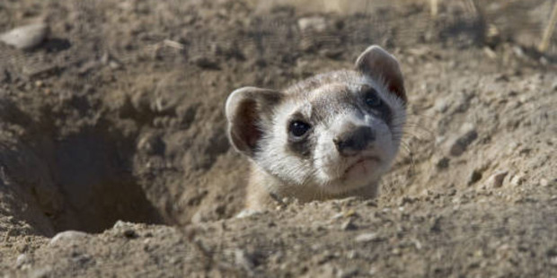 Black-footed ferrets live on prairie dogs. Photo / US Fish and Wildlife Service