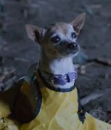Chester the Chihuahua.