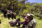 Gemma Cosgriff, 29, was observing gorillas in their natural habitat in Rwanda with her husband Damian, when he captured the gorilla pushing her over on video. Photo / YouTube
