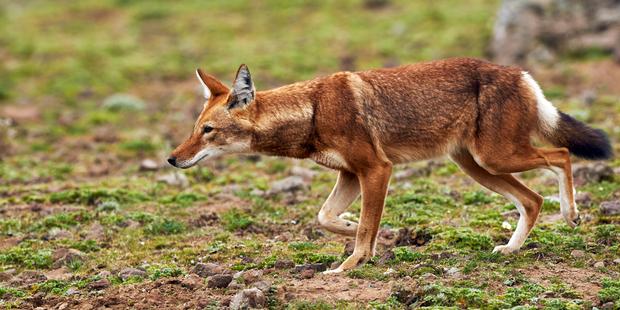 An Ethiopian wolf. Photo / iStock