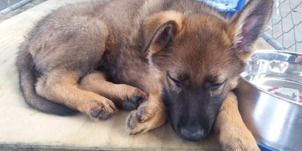 Kazza, part of the 'K' litter that was related to the late police dog Gazza. Photo / Central District Police