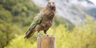 The pest control operation will target sites which are home to remaining populations of endangered species such as the kea. Photo / iStock