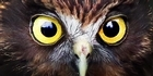 Watch: Morepork
