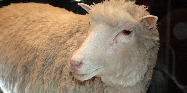 """Dolly the cloned sheep stunned the world in 1996, but her early death raised doubts about cloning. Now the progress of her four genetic """"siblings"""" have restored faith in the science. Photo/Toni Barros"""