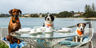 Best in show: Dogs chow down at Auckland cafes