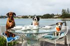 Shyla, Boy and Tommy wait patiently for their Bone Appetit meals at Takapuna Beach Cafe. Photo / Jono Parker