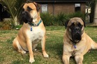 Bullmastiffs Monty and Tilly show off their new blue registration tags. Photo/supplied