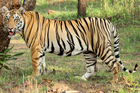 A tiger in Tadoba Andhari Tiger Reserve. Photo / Supplied