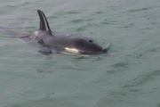 unit Billy the orca calf has become separated from his pod off the coast of the Bay of Plenty. Photo / Supplied