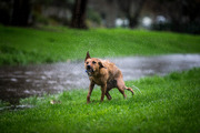 Viva the dog enjoys the flooding at Walmsley Park in Mt Roskill after a heavy downpour. Photo / Michael Craig
