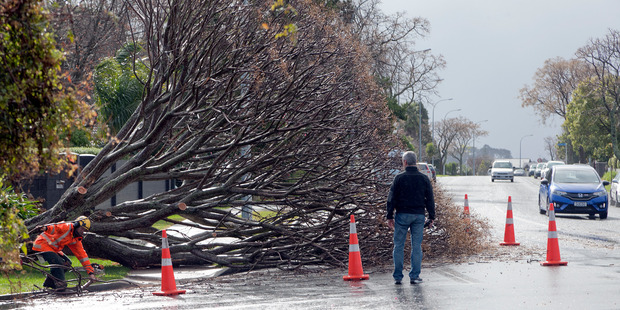 Loading Maungatapu residents and arborists get an up close view of a tree that was blown over in strong winds today.Photo/Andrew Warner